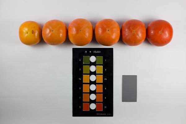 柿の色づきをカラーチャートで確かめます