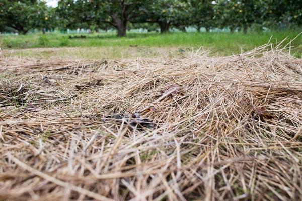 ナギナタガヤを敷き詰める草生栽培
