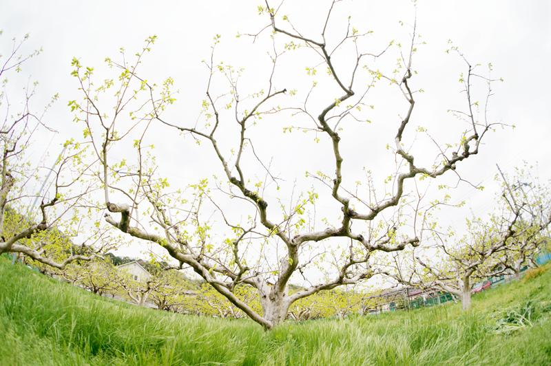 天野柿の復活
