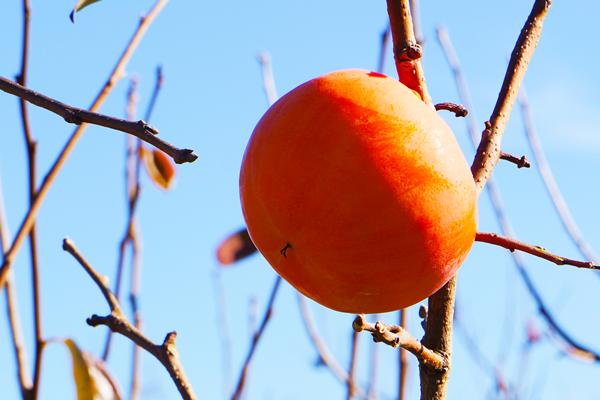 富有柿の美しい発色