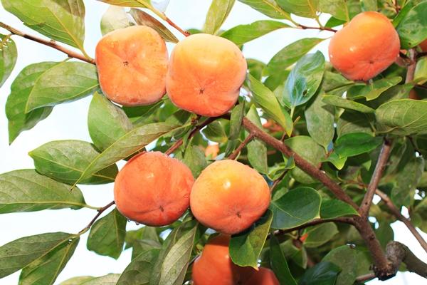 木の上で柿を完熟させます