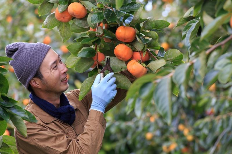 柿を収穫しています
