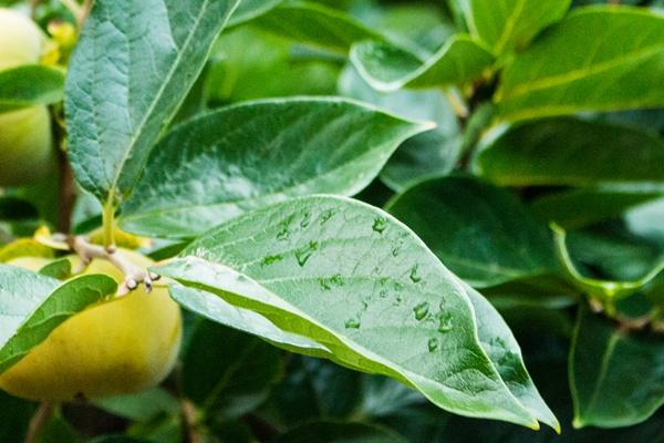 柿の葉が、いつまでも若々しい