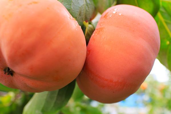 柿をお届けしています