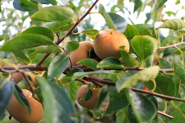 寒暖差がある方が、柿が甘く育ちます