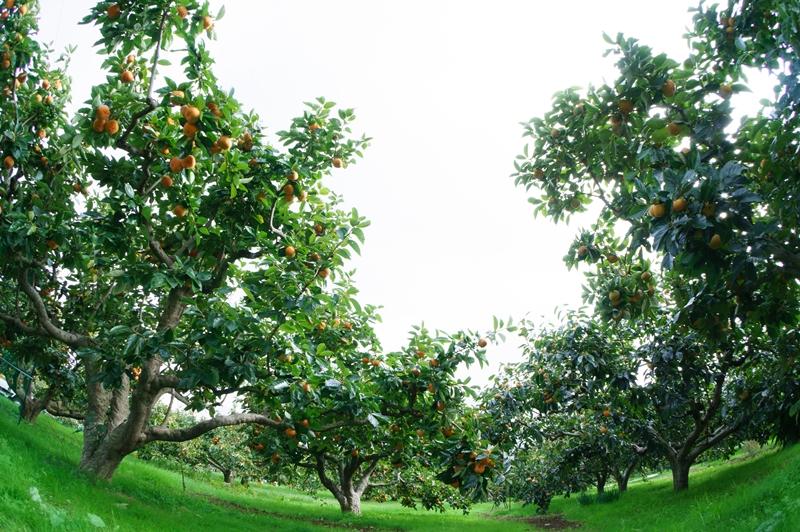 サカヤ農園の柿畑